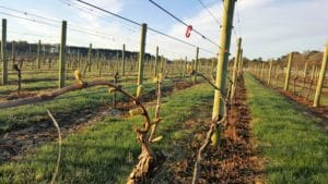buds on the vines
